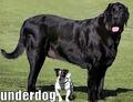 Underdog ! - dogs photo