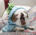 Yawn ! - dogs photo