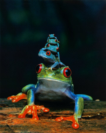 Tree Frogs wallpaper called blue frog stack