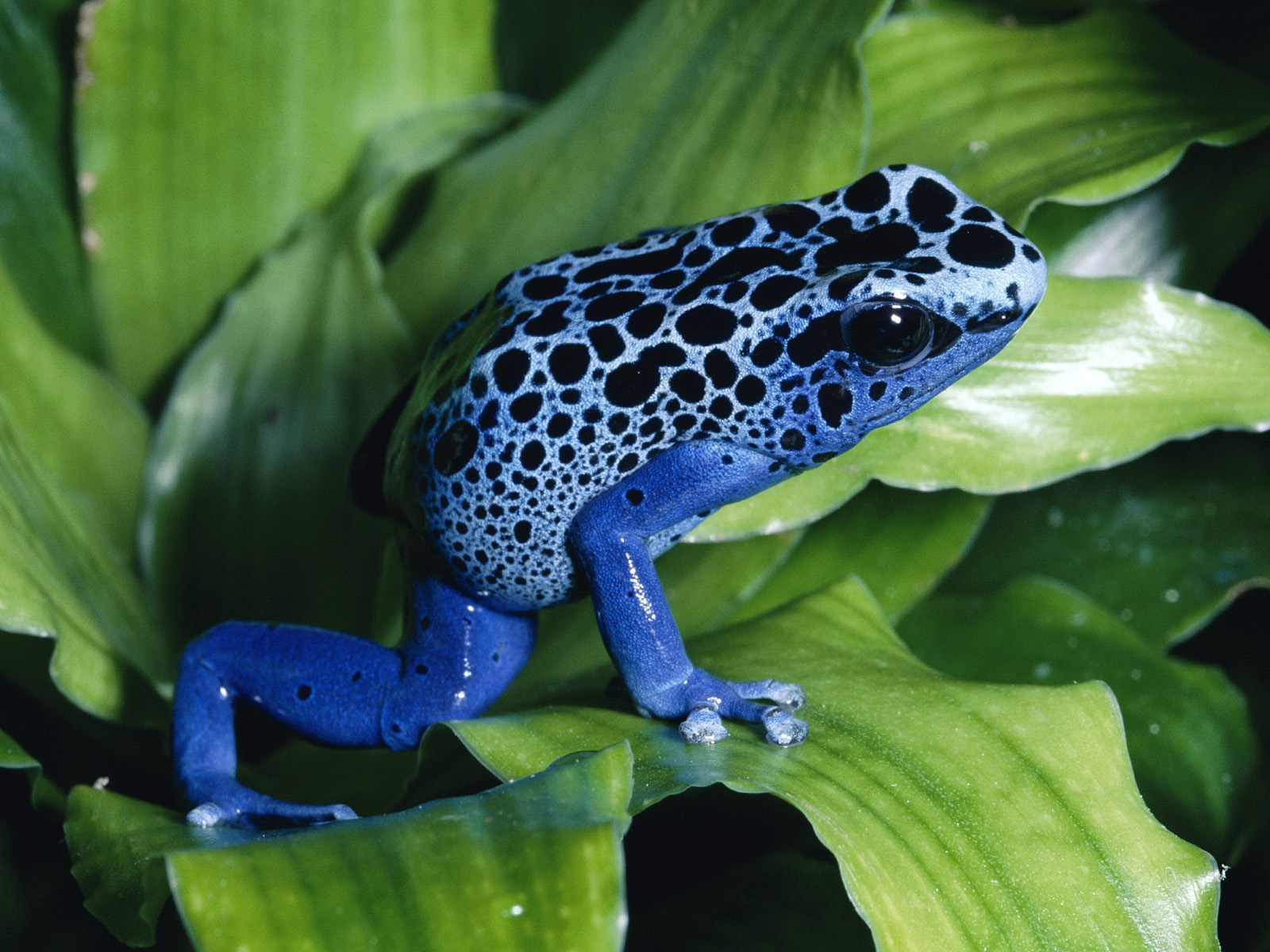 Tree Frogs blue poison dart frog