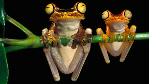 bug eyed frogs