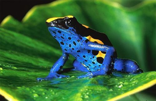 dyeing poison palaso frog