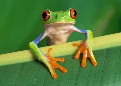 female red eyed tree frog - tree-frogs Fan Art