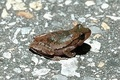 pinewood tree frog