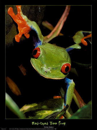red eyed puno frogs