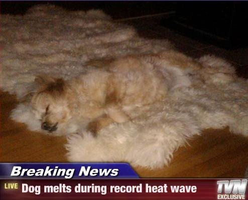 Dog melts during heatwave !