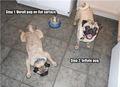 Pug ! - dogs photo