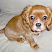 Cavalier King Charles - dogs icon