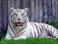 White Tigers - white-tiger photo