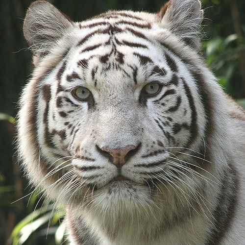 White Tiger wallpaper entitled White Tigers