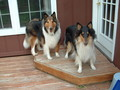 my collies