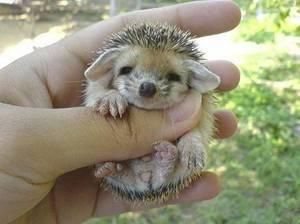 Cute Hedgehog 1