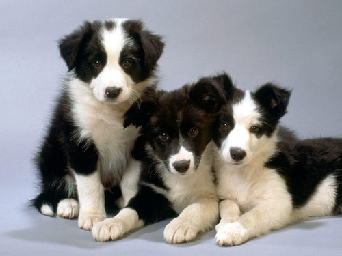 Border سے collie, کوللی Pups :)