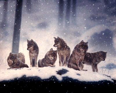 lobo Pack
