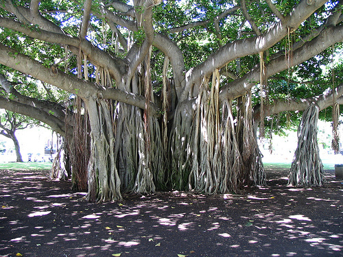 Trees Images Banyan Wallpaper And Background Photos