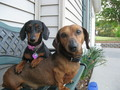 my dogs molly and frankie - dachshunds photo