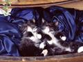 Kitten Wallpaper (1024x768)