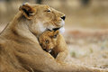 Lion Love - lions photo