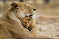Lion amor