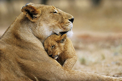Lions پیپر وال called Lion Love