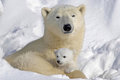 Mommy and Cub - polar-bears photo