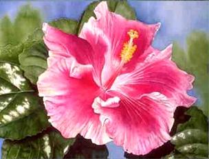 गुलाबी Hibiscus