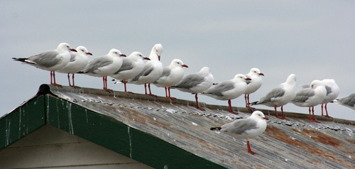 Seaguls on roof