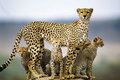 cheetah family - cheetah photo