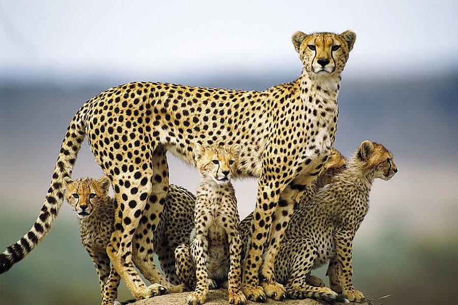 Cheetah images cheetah family HD wallpaper and background photos