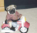 PUGS ARE FUNNY - baby-pugs photo