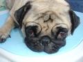 my pug manta