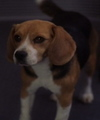 Porthos the Beagle - beagles photo