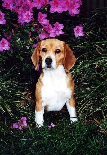 Porthos the Beagle