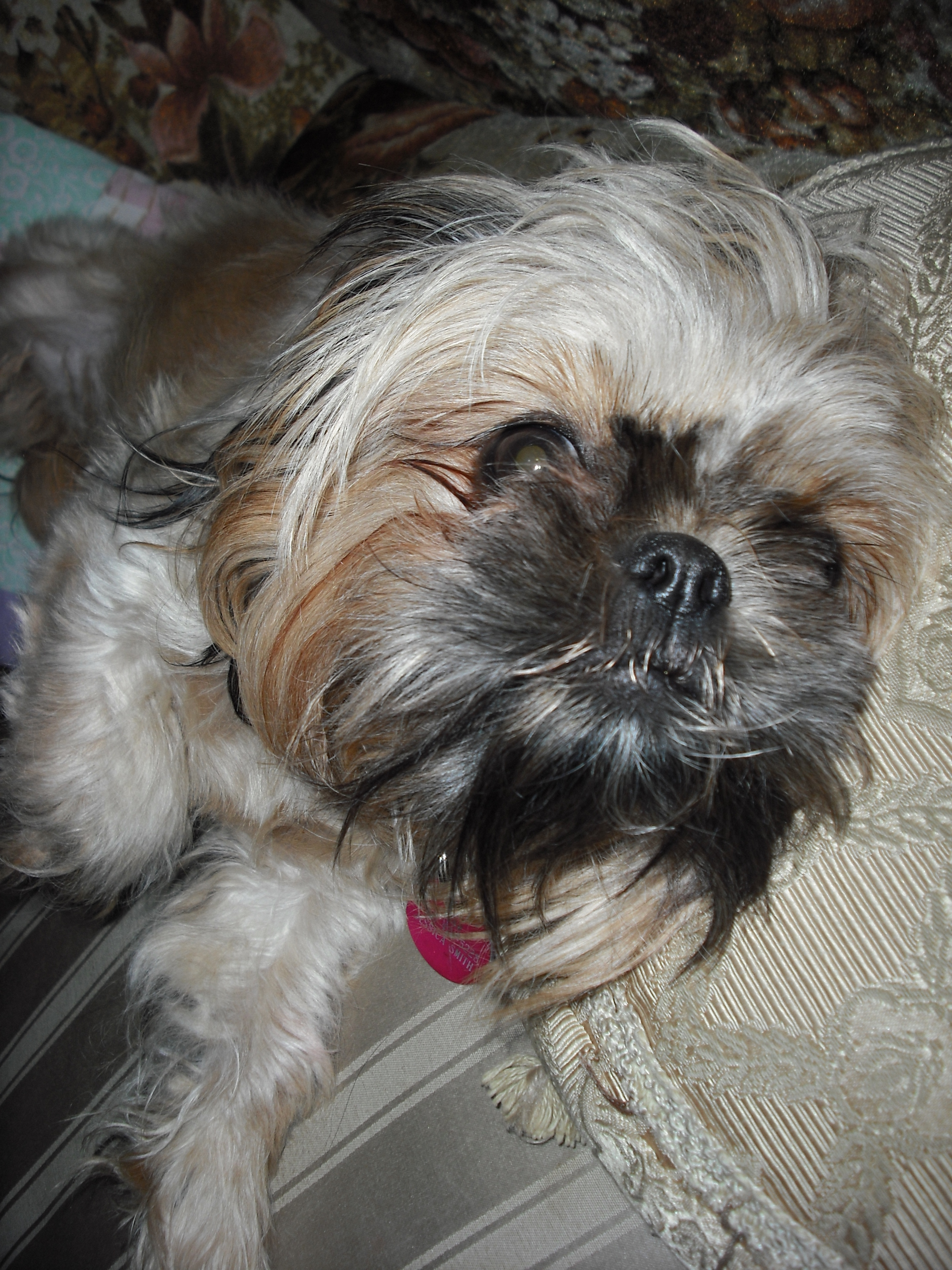 Shih Tzu Images Star Hd Wallpaper And Background Photos