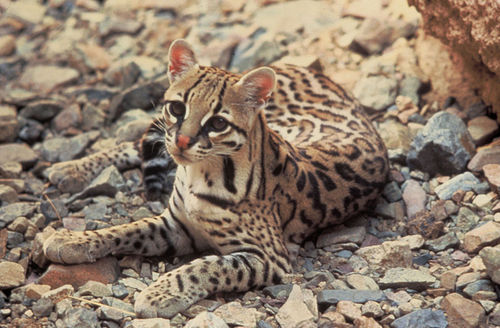 The ocelot is a sleek animal