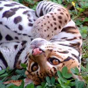 The ocelot looking cute