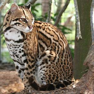 Wild ocelot kittens - photo#5