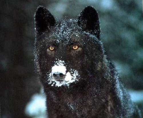 Black wolf (Starcrest father)