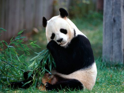 Pandas images Sweet Panda HD wallpaper and background photos