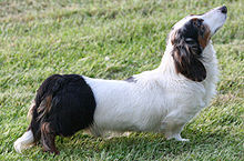 A double dapple longhaired Dachshund