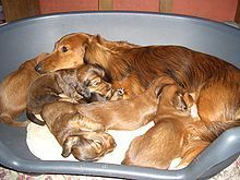 A long-haired dachshund with puppies