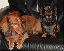 A standard long-haired dachshund (left) and miniature short-haired dachshund (right)