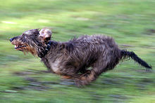 A wire-haired dachshund running