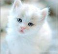 CuteWhiteKitten - kittens photo
