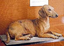 Old-style dachshund دکھانا the longer legs. Walter Rothschild Zoological Museum, Tring, England
