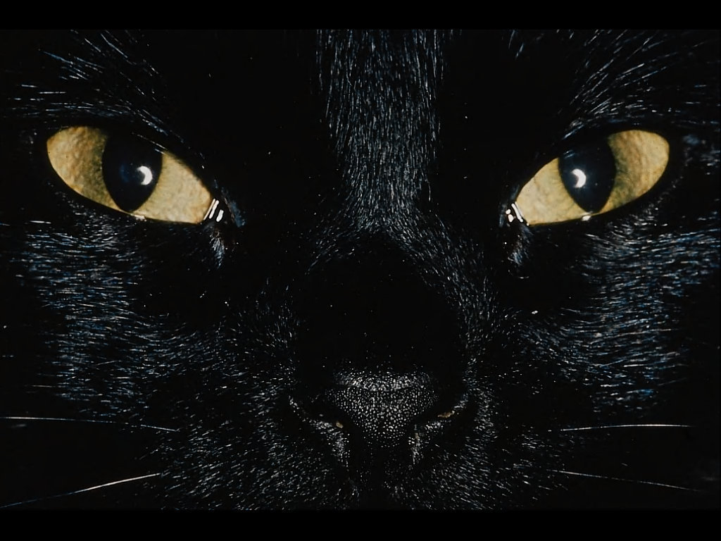 black cats images Black Cats HD wallpaper and background ...
