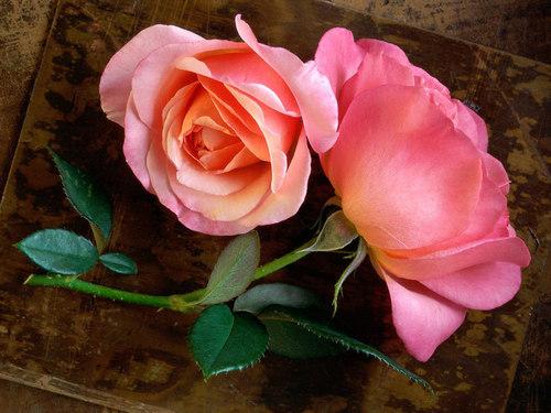 rosa, -de-rosa rosas