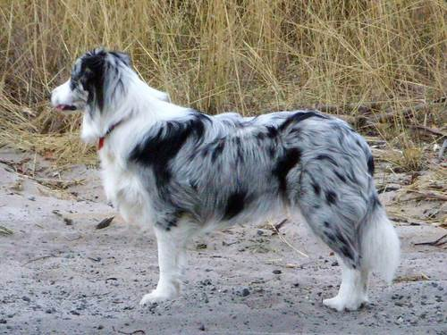 Blue Merle Border colley, collie