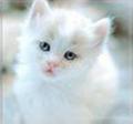 Precious White Kitten