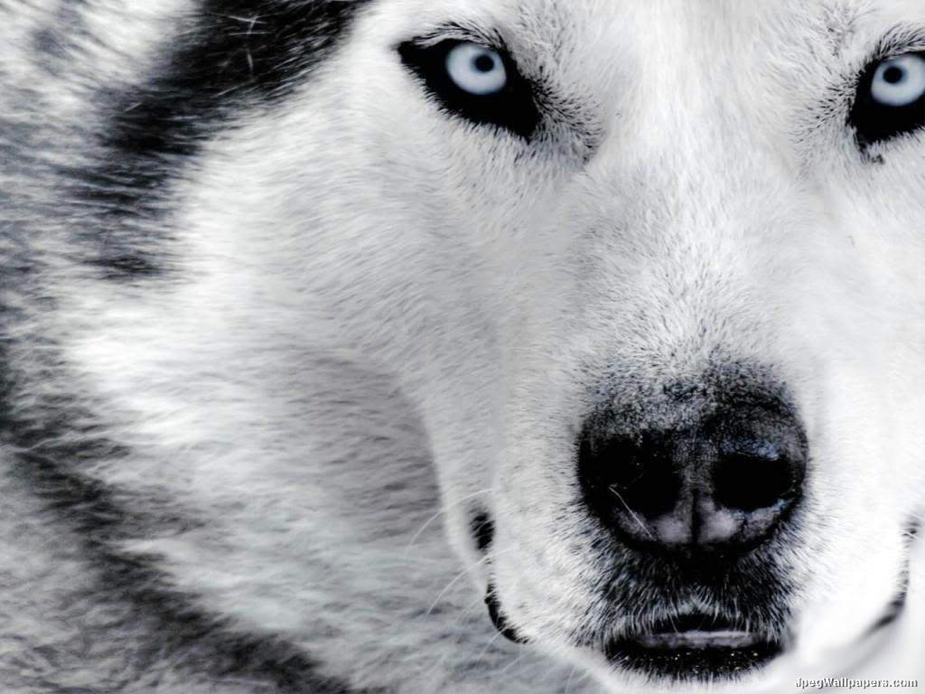 Siberian Husky  Dogs Wallpaper 12892969  Fanpop